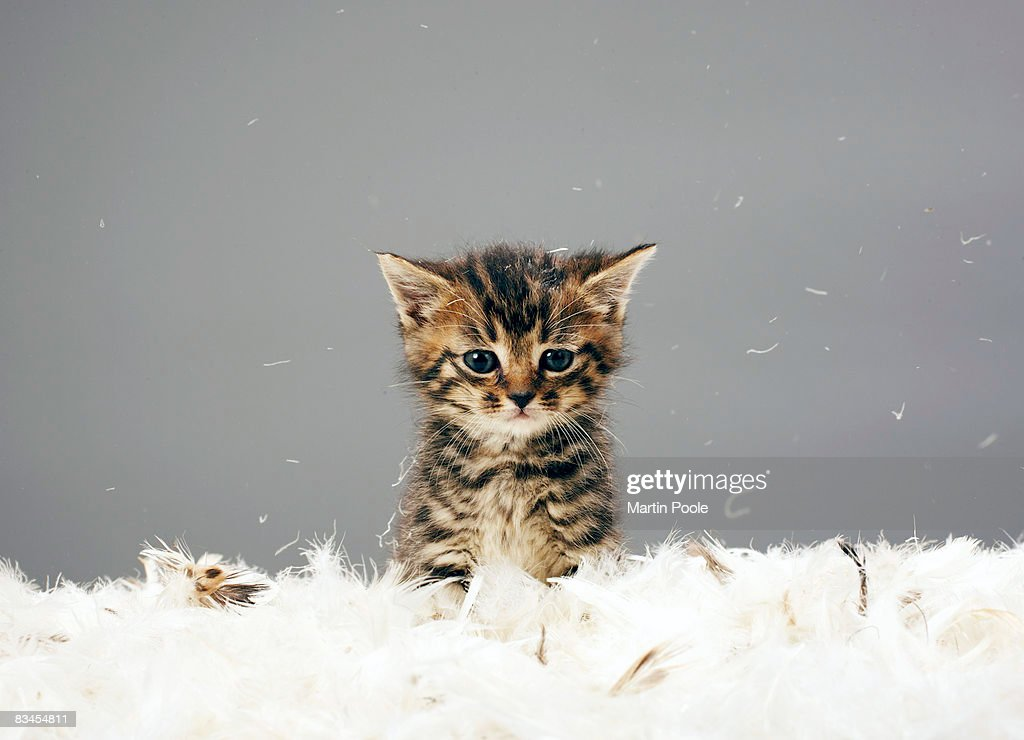 Kitten surrounded by feathers : Stock Photo