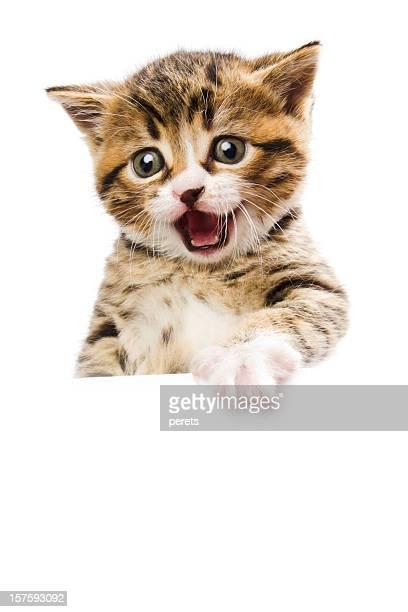 kitten the spokesman