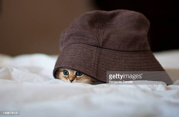 Kitten under brown hat