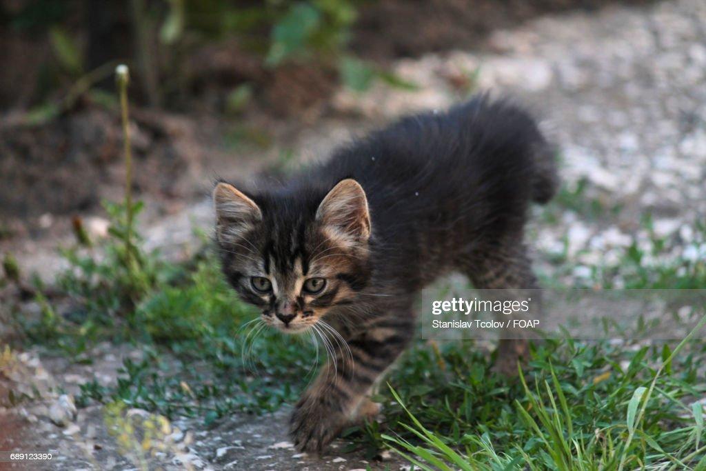 Kitten walking on grass : Stock Photo