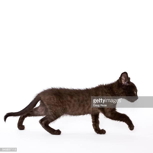 Kitten walking