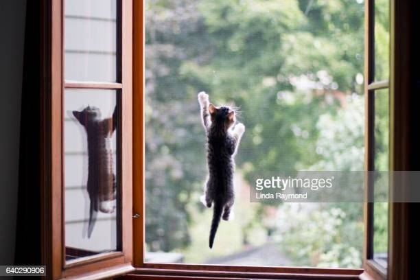 A kitten who climbs on the mosquito net of a window