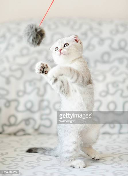 Kitten with gray-white hair play Feather Toy