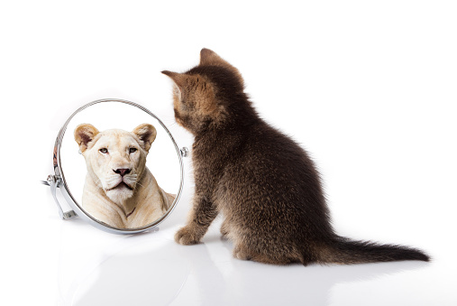 kitten with mirror on white background. kitten looks in a mirror reflection of a lion 1035037224