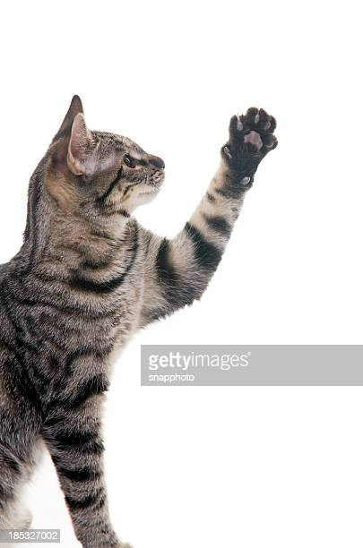 Kitten with Paw Up in Air