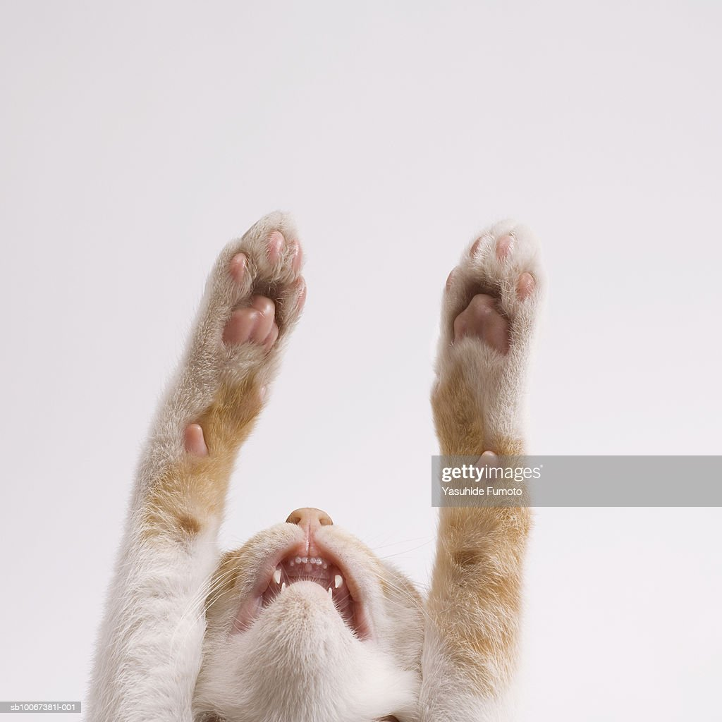 Kitten with paws outstretched, studio shot : Stock Photo