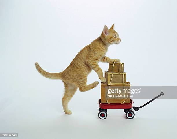Kitten with wagon and boxes