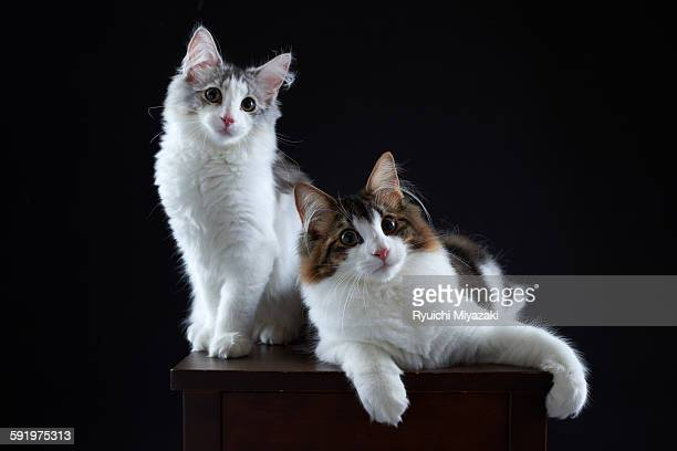 kittens - norwegian forest cat stock photos and pictures