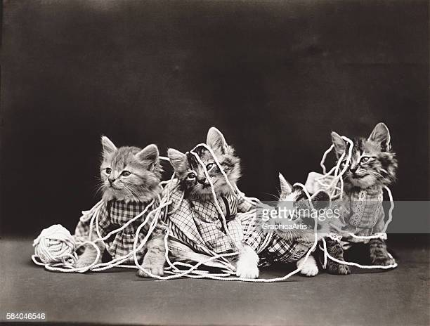 Kitties tangled up in yarn from a series of dressed kittens in various human situations circa 1914 Silver print