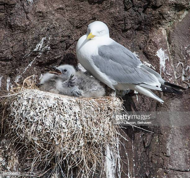 Kittiwake and chicks
