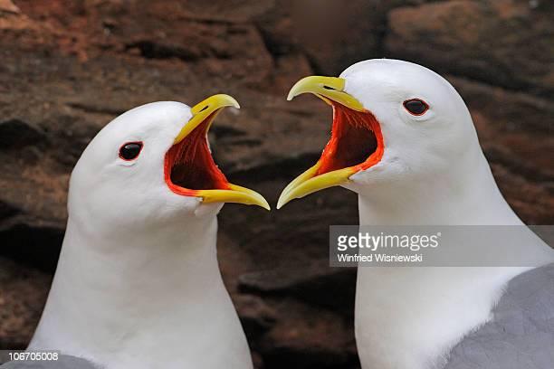 kittiwake  - 海洋性の鳥 ストックフォトと画像