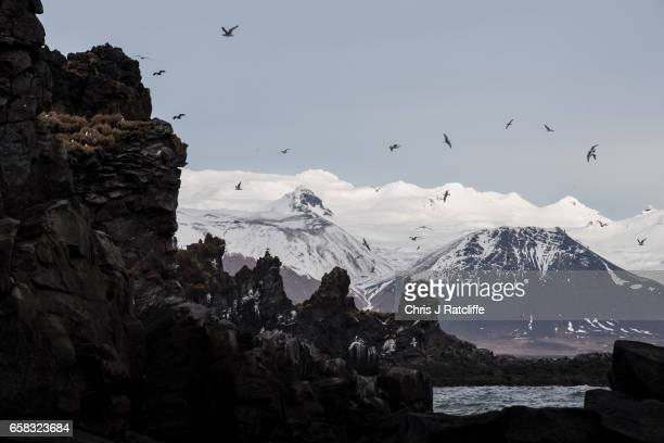 Kittiwakes fly from black volcanic cliff tops on the coast of Snaefellsnes Peninsula in the Snaefellsjokull National Park on March 27 2017 at...