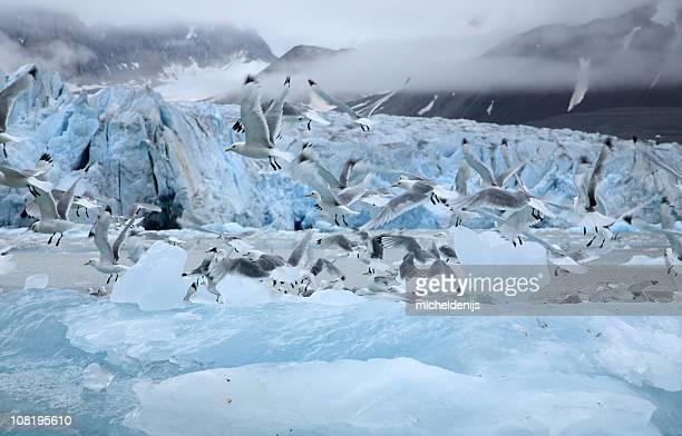 Kittiwakes Flying In The Arctic