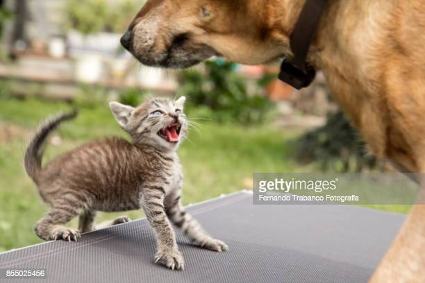 kitty attacks the dog - maltrato animal fotografías e imágenes de stock