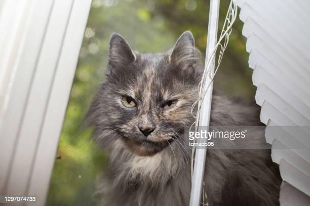 sneaky longhair grey cat peeking out