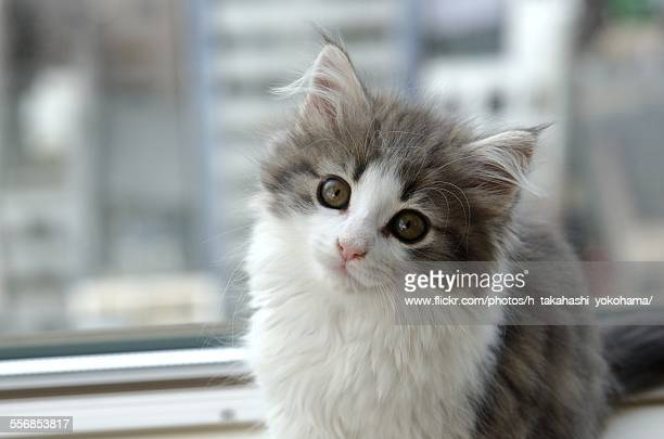 kitty - norwegian forest cat stock photos and pictures
