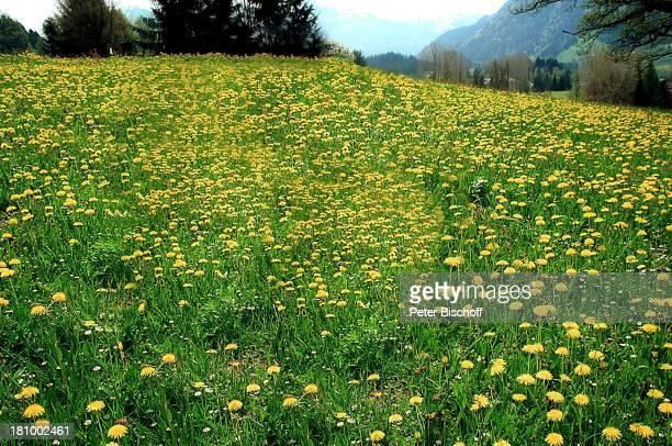 Kitzbühel /; sterreich, Wiese, Blumen, Natur;