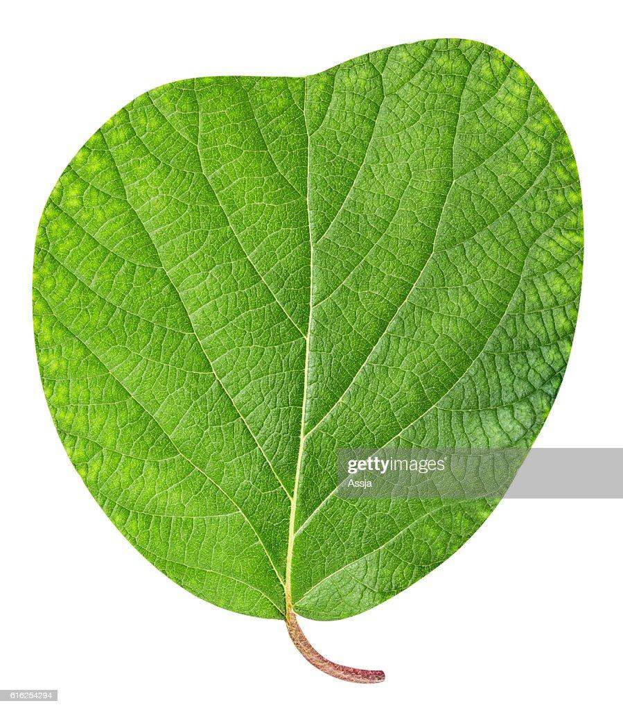 Kiwi leaf isolated on white background : Stock Photo