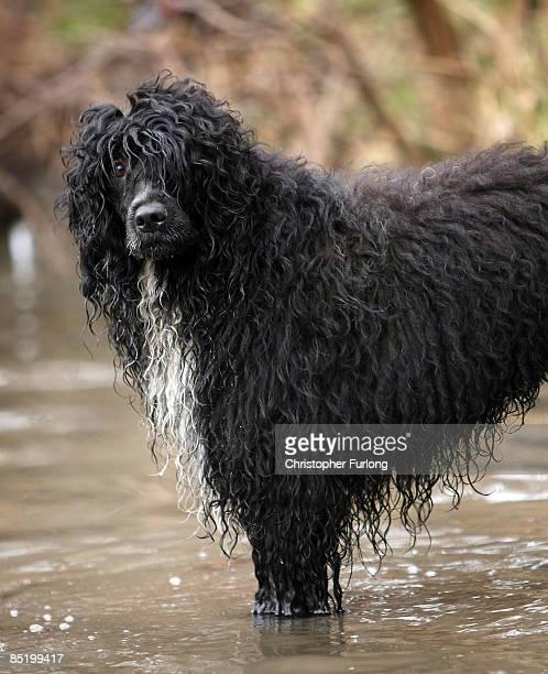 Dogs Home Near Rugeley: 60 Hochwertige Portugiesischer Wasserhund Bilder Und Fotos