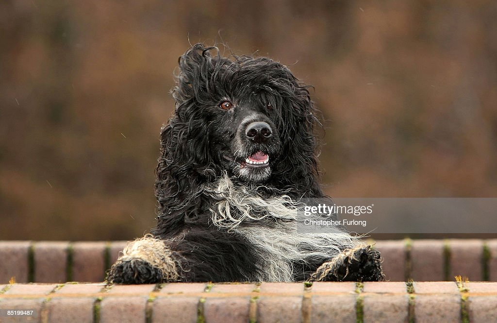 Portugese Water Dog Prepares For Crufts 2009 : News Photo
