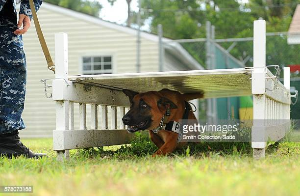 KKowalski a military working dog assigned to Naval Station Mayport runs through an obstacle course as part of endurance and obedience training...