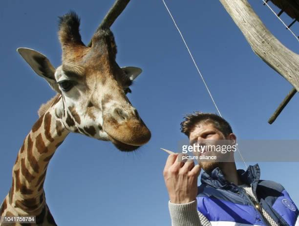 KlaasJan Huntelaar forward from Schalke 04 feeds the 43meterstall giraffe 'Hans' in the ZOOM Erlebniswelt zoo in Gelsenkirchen Germany 20 April 2016...