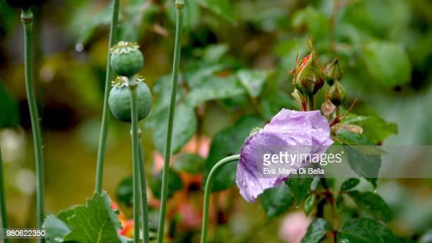 klatschmohn mit regentropfen - poppy with raindrops - regentropfen stock pictures, royalty-free photos & images