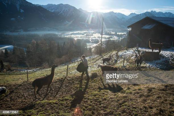 Klaus Eberle feeds his lamas in the Bavarian Alps on December 28 2013 near Oberstdorf Germany Lama trekking operator Klaus Eberle organizes the tours...