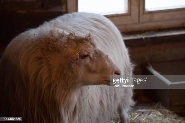 Klaus the sheep