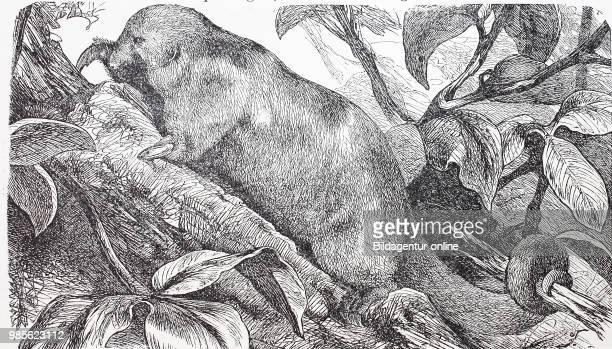 Kleiner Ameisenbaer, Noerdlicher Tamandua, Tamandua mexicana. Northern tamandua, Tamandua mexicana, is a species of tamandua, an anteater, digital...
