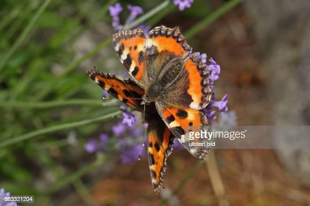 Kleiner Fuchs Falter Paarung mit geoeffneten Fluegeln an blauer Lavendelbluete sitzend links sehend