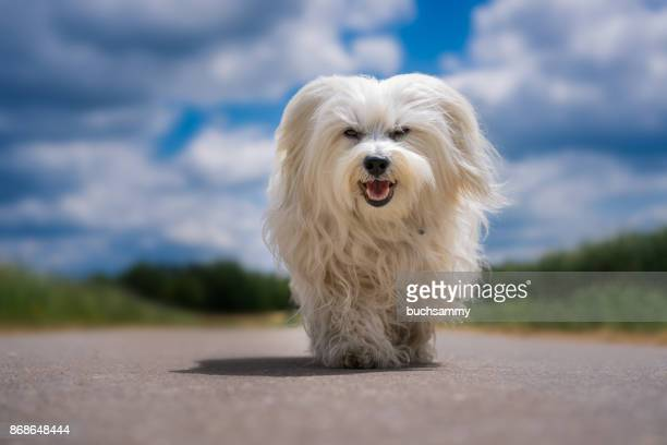 kleiner hund - maltese dog stock pictures, royalty-free photos & images
