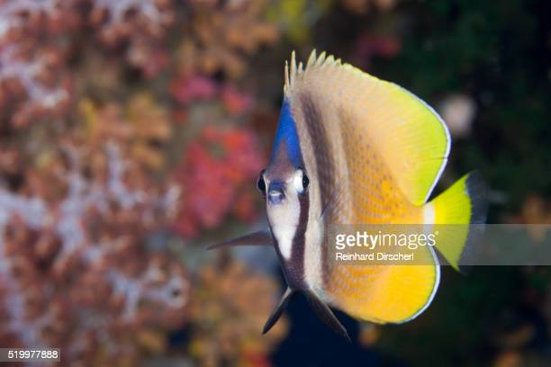 Kleins Butterflyfish, Solomon Islands