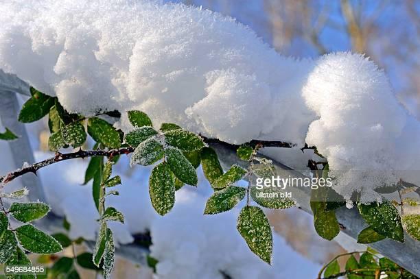 Kletterrose im Garten mit Eis und Schnee bedeckt