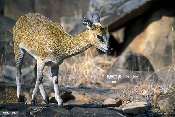 Klipspringer antelope foraging amongst rocks of koppie Kruger National Park South Africa