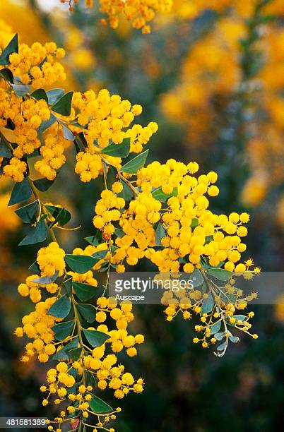 Knife-leaved wattle, Acacia cultriformis, globular bright yellow flowers, shrub of eucalypt woodland, Southern Queensland and northern New South...