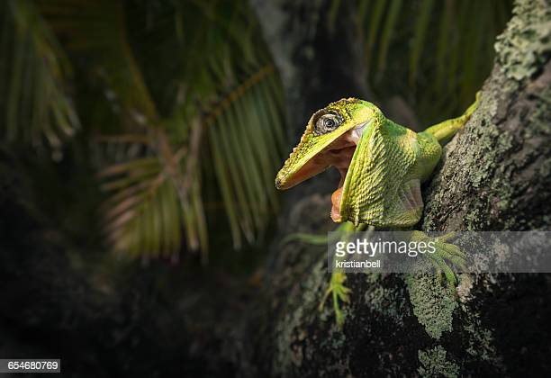 knight anole lizard (anolis equestris) on tree, the everglades, florida, america, usa - everglades national park stock pictures, royalty-free photos & images