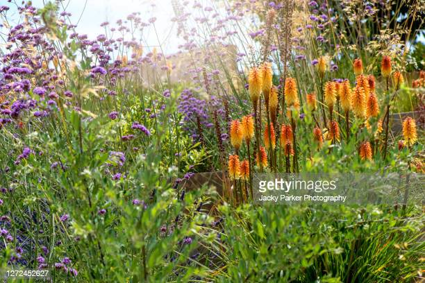 kniphofia 'fiery fred'. orange summer flowers also known as red hot poker or torch lily, planted with purple verbena bonariensis - {{asset.href}} stock pictures, royalty-free photos & images