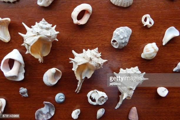 Knolling. Seashell Collection