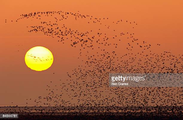 knot, snettisham, norfolk, uk - animal migration stock pictures, royalty-free photos & images