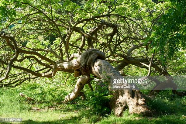 knotty remarkable tree - martial stock pictures, royalty-free photos & images