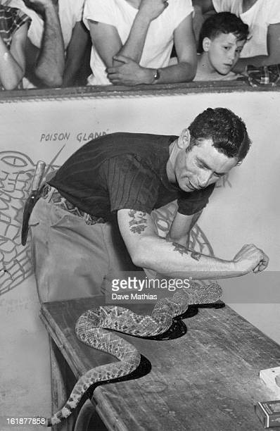 MAY 4 1952 MAY 5 1952 'I Know It Sounds Crazy' Bernie Wendt coowner of the Teepee Reptile farm attempts to get a fiftyfourinchlong diamondback...