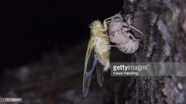 Knowing that the emergence of cicada is the most important and magical life cycle it has experienced in its life Shanghai China PHOTOGRAPH BY...
