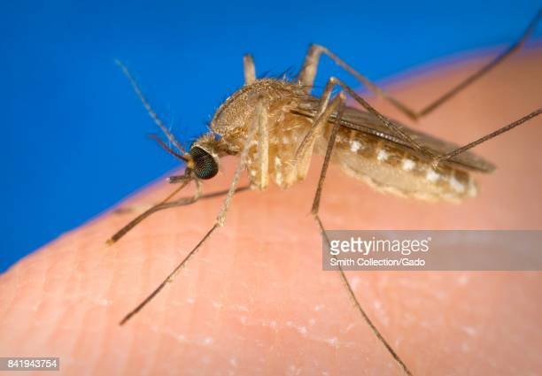 Known as a vector for the West Nile virus this Culex quinquefasciatus mosquito has landed on a human finger and is preparing to bite the affected...