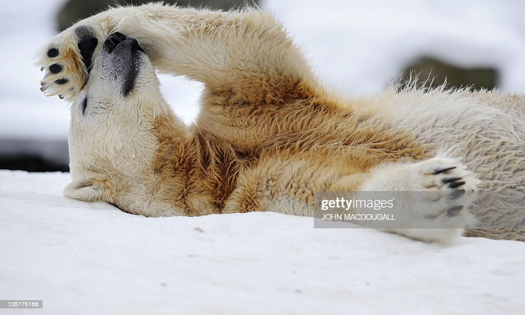 Knut, the 3-year-old polar bear, rolls i : News Photo