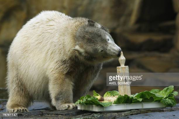 Knut the polar bear nibbles the tip of a wooden candle on his birthday cake as he celebrates his first birthday at Berlin's Zoologischer Garten zoo...
