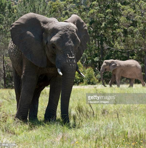 Knysna Western Cape South Africa, Young male elephant with ears pointing forward feeding on grass.