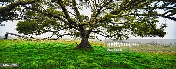 Koa tree (Acacia Koa) panorama Hawaii.