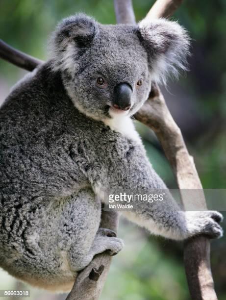 Koala a native Australian mammal climbs a tree at the Australian Reptile Park January 23 2006 in Sydney Australia Koalas often called bears are not...