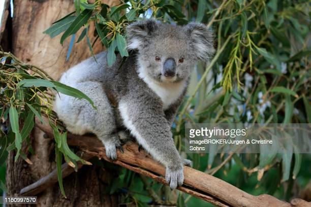 koala (phascolarctos cinereus), adult, climbs in tree, parndana, kangaroo island, south australia - koala stock-fotos und bilder